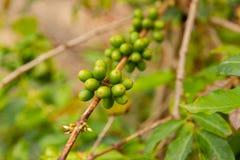 Plan rapproché de l'élevage de fruits frais de café dans la ferme images libres de droits