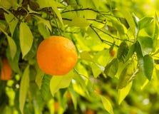 Plan rapproché de l'élevage orange sur l'arbre Image libre de droits