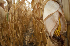 Plan rapproché de l'épi de maïs sec prêt pour la moisson Photo stock