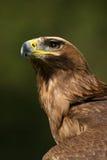 Plan rapproché de l'aigle d'or ensoleillé regardant fixement vers le haut Photographie stock libre de droits