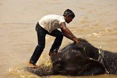 Plan rapproché de l'homme s'élevant baignant le visage de l'éléphant Images stock