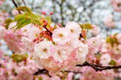 Plan rapproch? de l'ivrogne rose de Sakura fleurissant la journ?e de printemps obscurcie Gouttes de pluie sur des fleurs et des f images stock