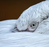 Plan rapproché de l'oeil d'un pélican Photo libre de droits