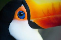 Plan rapproché de l'oeil du toucan Photographie stock libre de droits