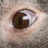 Plan rapproché de l'oeil mâle d'ours de koala Image stock