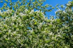 Plan rapproché de la branche de la cerise d'oiseau, brillamment éclairée à contre-jour contre le ciel Images stock