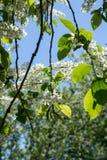 Plan rapproché de la branche de la cerise d'oiseau, brillamment éclairée à contre-jour contre le ciel Photographie stock