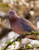Plan rapproché de la colombe riante Photographie stock libre de droits