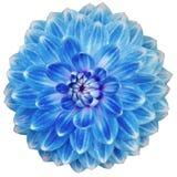 Plan rapproché de la fleur bleue de floraison simple de dahlia d'isolement sur le blanc Photographie stock