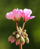 Plan rapproché de la fleur de bourgeonnement rose fleurissant au soleil ; géranium Photos stock