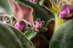 Plan rapproché de la fleur violette Macro photo d'un bourgeon violet image stock