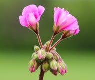Plan rapproché de la floraison de bourgeonnement rose de fleur ; géranium Photographie stock