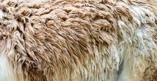 Plan rapproché de la fourrure animale, modèle de nature, fond photographie stock