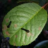 Plan rapproché de la larve d'une tenthrède sur une feuille de cerise Photographie stock