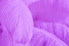 Plan rapproché de la pile des plumes pelucheuses pourpres Image stock