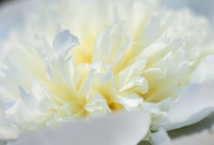 Plan rapproché de la pivoine blanche Photographie stock