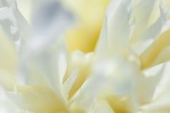 Plan rapproché de la pivoine blanche Photographie stock libre de droits