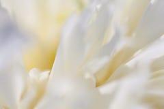 Plan rapproché de la pivoine blanche Image stock