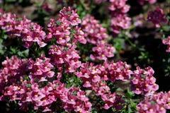 Plan rapproché de la sauge ou du Salvia de plante médicinale ordinaire du beau rose avec un milieu jaune photos libres de droits