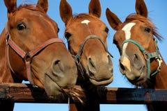 Plan rapproché de la tête d'un cheval Image libre de droits
