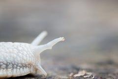 Plan rapproché de la tête d'un escargot Photos stock