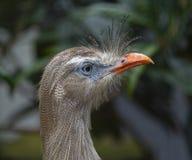 Plan rapproché de la tête d'un seriema à pieds rouges, cristata latin de Cariama Cet oiseau a appartenu à la famille de grue Photographie stock libre de droits