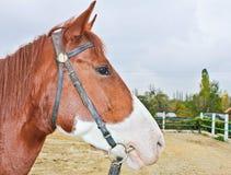 Plan rapproché de la tête de cheval à l'hippodrome. Images libres de droits