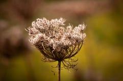 Plan rapproché de la tête de graine d'une fleur de carotte sauvage Image stock