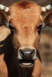 Plan rapproché de la tête de la vache avec la bouche ouverte photo libre de droits
