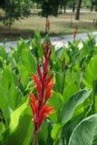 Plan rapproché de la transitoire des fleurs rouges de Canna indica photographie stock