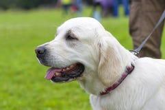 Plan rapproché de labrador retriever Photo stock