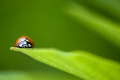 Plan rapproché de Ladybird Photographie stock