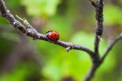 Plan rapproché de Ladybird sur une feuille Foyer sélectif photo stock