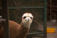 Plan rapproché de lama, plein visage, brun images stock
