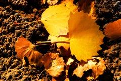 Plan rapproché de lame de diversifolia de Populus images libres de droits