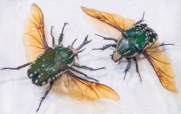 Plan rapproché de lat de scarabée de Pronghorn Polyphemus de Chelorrhina, Buru photos libres de droits