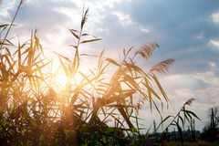 Plan rapproché de latifolia commun de jonc ou de typha dedans Image libre de droits