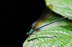Plan rapproché de libellule Photo libre de droits
