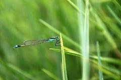 Plan rapproché de libellule de vert bleu Images stock