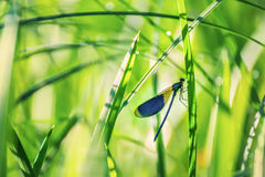 Plan rapproché de libellule sur les tiges de l'herbe Images stock