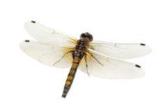 Plan rapproché de libellule (Whiteface Jaune-repéré) d'isolement sur le fond blanc photo libre de droits