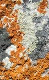 Plan rapproché de lichen coloré multi Images stock