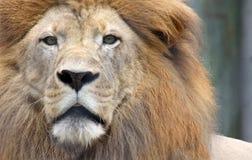 Plan rapproché de lion africain Photos stock