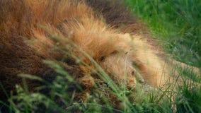 Plan rapproché de Lion Asleep In Long Grass banque de vidéos