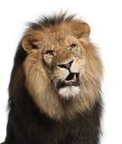 Plan rapproché de lion, Panthera Lion, 8 années Image stock