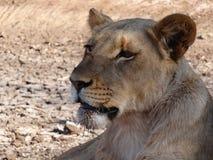 Plan rapproché de lionne images stock
