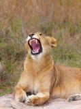 Plan rapproché de lionne (panthera Lion) Photo stock