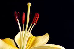 Plan rapproché de lis (lilium) Image stock