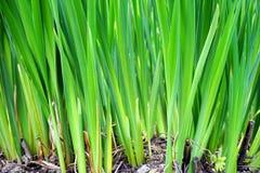 Plan rapproché de longue herbe verte image libre de droits