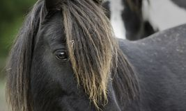 Plan rapproché de loonking d'un poney noir images libres de droits